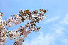 Cherry blossom in blue sky Stock Image