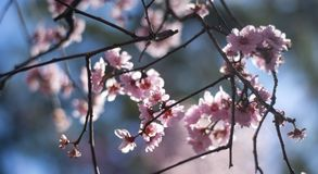 Cherry Blossom with blue sky. In Australia during Spring season Stock Photo