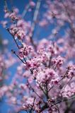 Cherry Blossom with blue sky Royalty Free Stock Photography