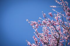 Cherry Blossom with blue sky Royalty Free Stock Image