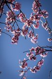 Cherry Blossom with blue sky Stock Images