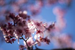 Cherry Blossom with blue sky Royalty Free Stock Photo