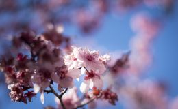 Cherry Blossom with blue sky Stock Photos