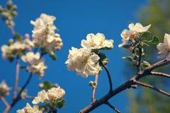 Cherry blossom on blue sky backgraund Stock Photography