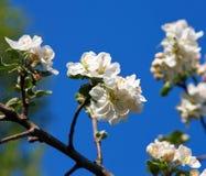 Cherry blossom on blue sky backgraund Stock Photo