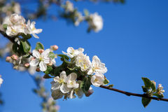 Cherry blossom on blue sky backgraund Royalty Free Stock Images