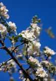 Cherry blossom on blue sky backgraund Stock Photo