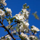 Cherry blossom on blue sky backgraund Royalty Free Stock Photo