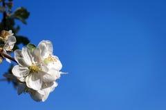 Cherry blossom on blue sky backgraund Stock Photos