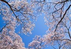 Cherry blossom. Royalty Free Stock Photos