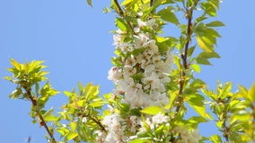 Cherry blossom. On blue sky background stock footage