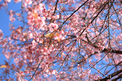 Cherry blossom with blue sky background Royalty Free Stock Image
