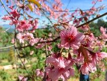 Cherry blossom and blue sky. stock photos