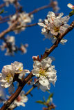 Cherry blossom on blue sky Stock Photography