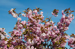 Cherry blossom at blue sky Stock Images