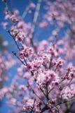 Cherry Blossom with blue sky Stock Photo