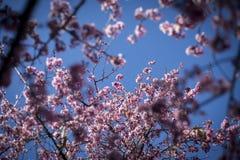Cherry Blossom with blue sky Stock Image