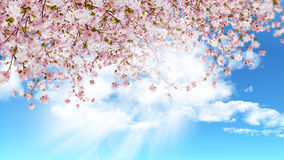 Cherry blossom on blue sky Royalty Free Stock Photography