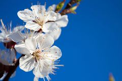 Cherry blossom on blue sky Royalty Free Stock Image