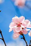 Cherry blossom and blue sky in spring Royalty Free Stock Image