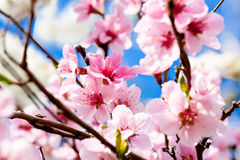 Cherry blossom and blue sky in spring Stock Photos