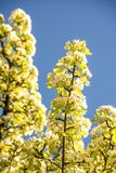 Cherry blossom on a blue sky. In spring in Germany Royalty Free Stock Images