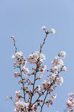 Cherry blossom on the blue sky Royalty Free Stock Photography