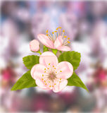 Cherry Blossom, Blur Nature Background Stock Photos