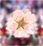 Cherry Blossom, Blurry Background Stock Photography
