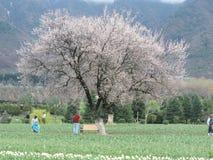 Cherry Blossom-boom in de tuin van Kashmir Royalty-vrije Stock Foto