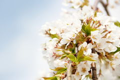 Cherry Blossom Border very shallow DOF Stock Photo