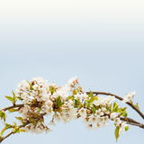 Cherry Blossom Border very shallow DOF Stock Photos