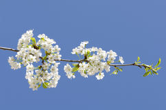 Cherry Blossom branch. With blue sky in background Royalty Free Stock Photography