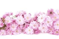 Cherry Blossom Branch abbastanza rosa isolato sulla Tabella di legno bianca con lo spazio bianco della copia del fondo o sulla sta Immagini Stock