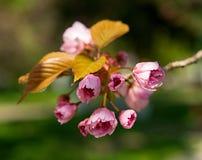 Cherry blossom branch Stock Photo
