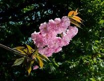 Cherry blossom branch Royalty Free Stock Photo