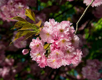Cherry blossom branch Royalty Free Stock Images