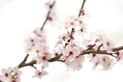 Cherry blossom on a branch Stock Image
