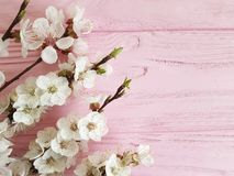 Cherry blossom branch beauty decorative vintage spring on a pink wooden background. Cherry blossom branch a pink wooden background spring vintage fresh royalty free stock images