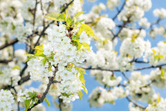 Cherry blossom. Branch with cherry blossoms in spring Stock Photos
