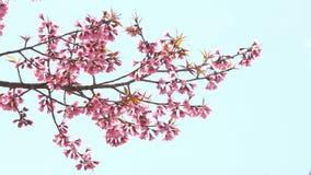 Cherry blossom branch on blue sky.  stock video footage