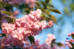 Cherry blossom branch close up with blue sky in background. Stock Photos