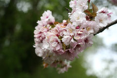 Cherry Blossom branch. Digital and outdoors photography Stock Images