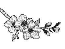 Cherry blossom branch engraving vector Stock Image