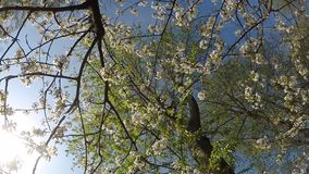 Cherry blossom, branch with flowers stock footage
