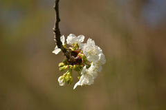 Cherry blossom branch Stock Image