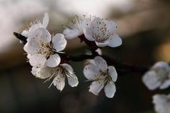 Cherry blossom. On a branch in a garden Stock Photos