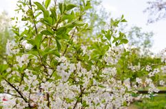 Cherry blossom branches with green leaves closeup stock photo