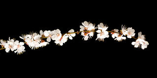 Cherry blossom branch isolated on black Stock Photos