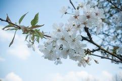 Cherry blossom branch in a japanese garden Stock Photos